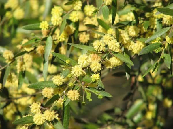 Acacia verniciflua photo