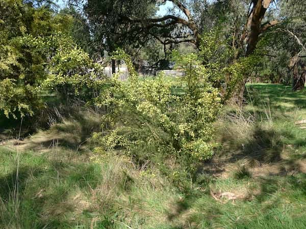Acacia verticillata photo