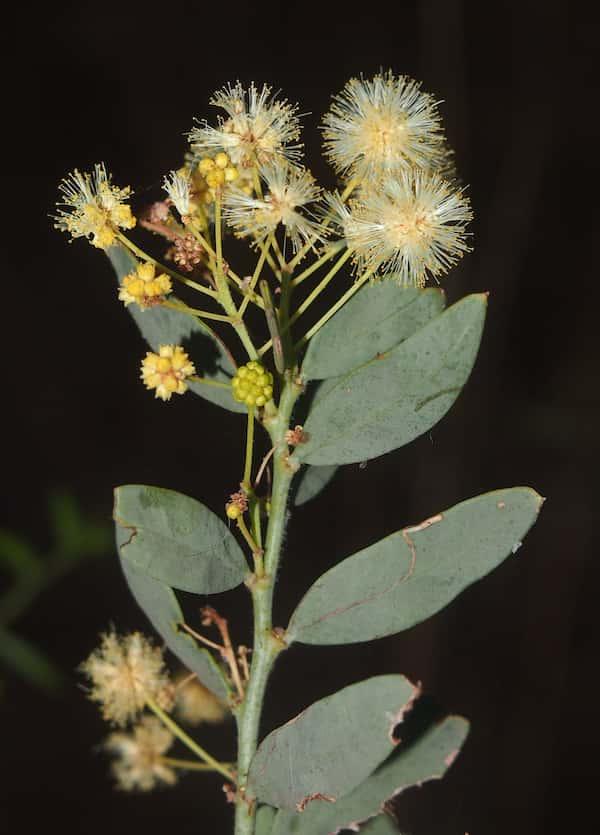 Acacia victoriae photo
