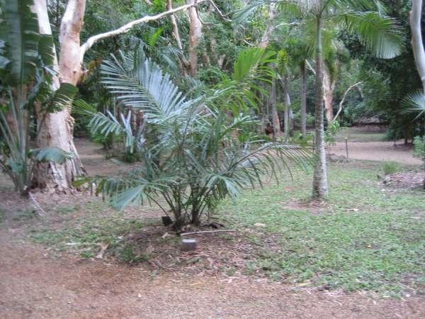 Arenga australasica photo