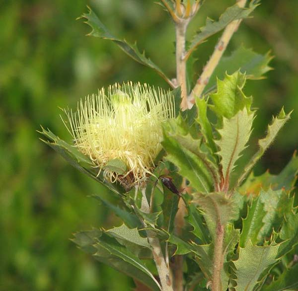 Banksia anatona photo