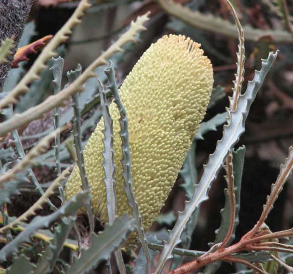Banksia pilostylis photo