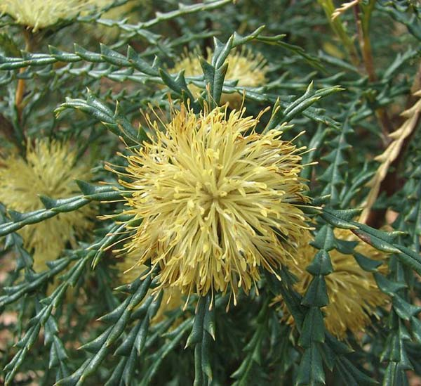 Banksia polycephala photo