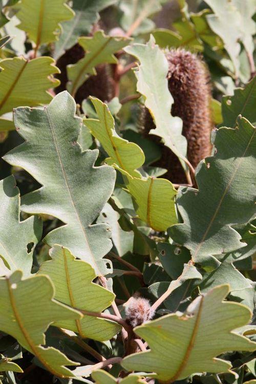 Banksia solandri photo