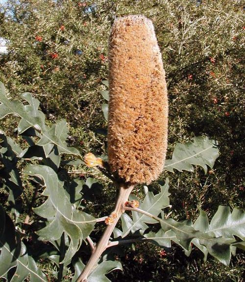 Banksia solandri photo