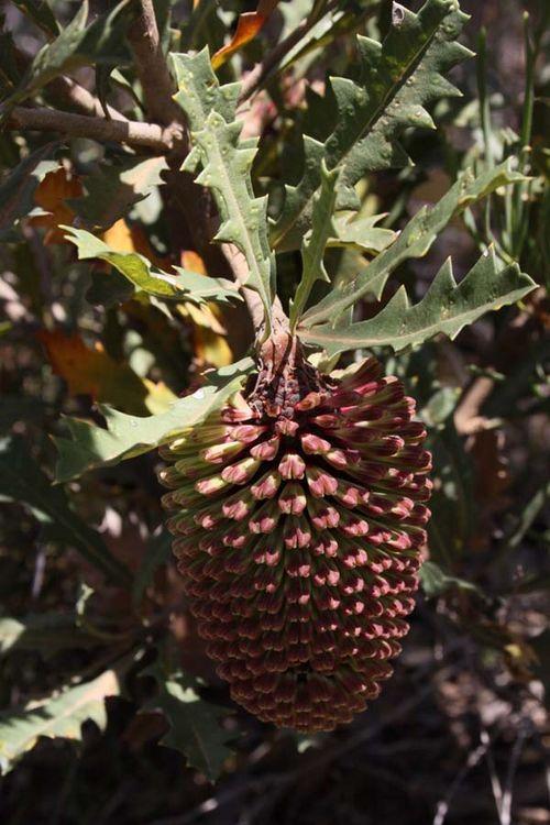 Banksia aculeata photo