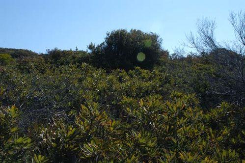 Banksia aemula photo