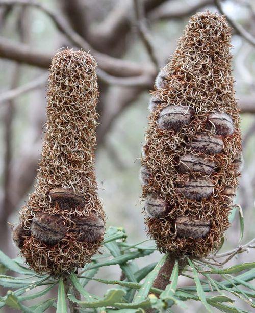 Banksia attenuata photo
