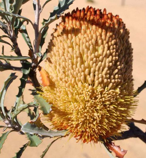 Banksia audax photo
