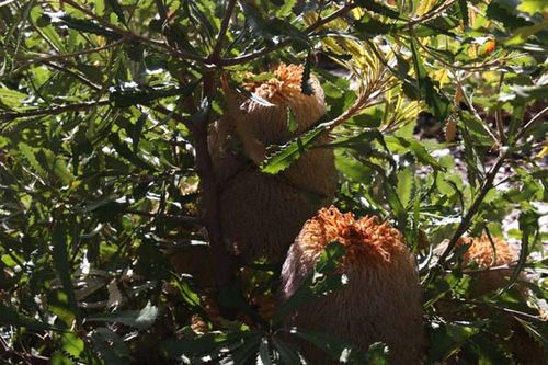 Banksia baueri photo