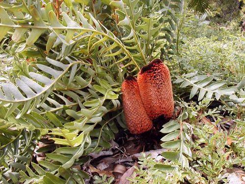Banksia blechnifolia photo