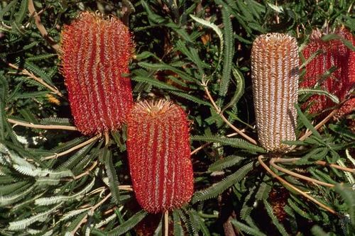 Banksia brownii photo