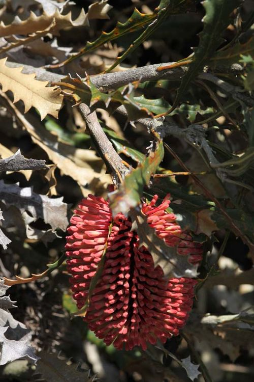 Banksia caleyi photo