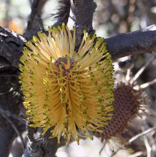 Banksia candolleana photo