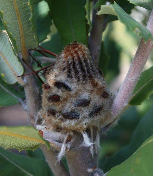 Banksia coccinea photo