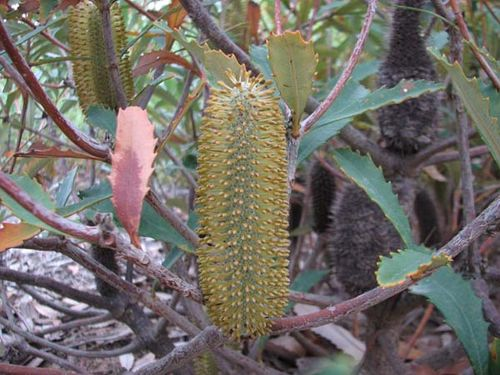 Banksia conferta ssp conferta photo