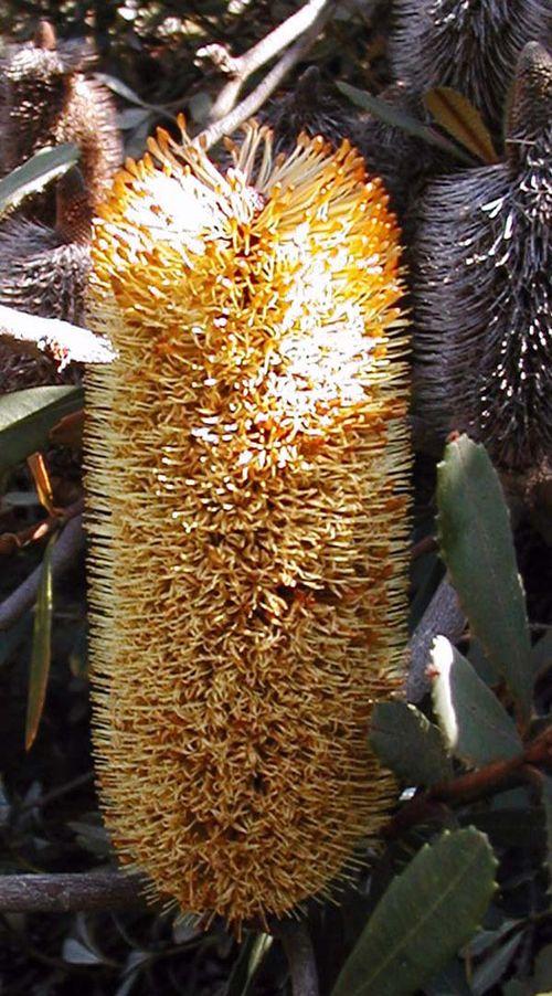 Banksia conferta ssp penicillata photo