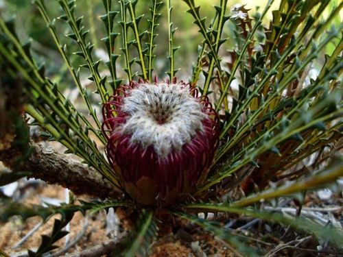 Banksia dallanneyi photo