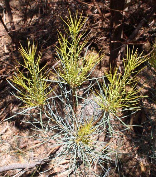 Banksia sphaerocarpa var dolichostyla photo