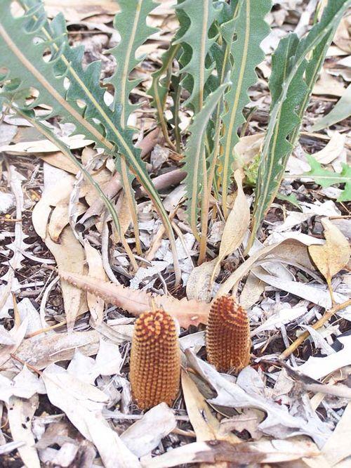 Banksia gardneri var gardneri photo