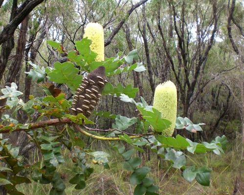 Banksia grandis photo