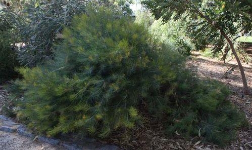 Banksia grossa photo