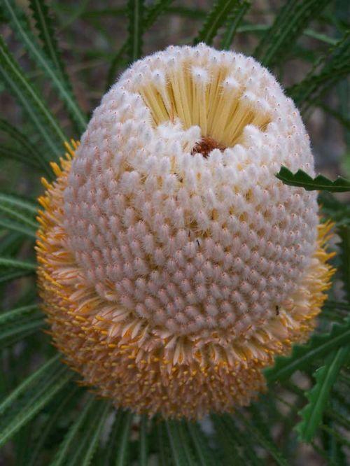 Banksia hookeriana photo