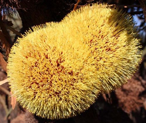 Banksia laevigata ssp fuscolutea photo
