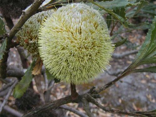 Banksia laevigata ssp laevigata photo