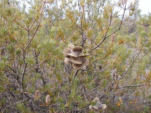 Banksia laricina photo