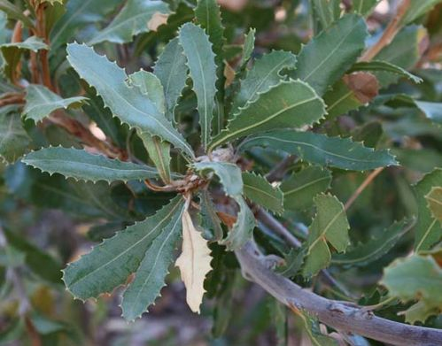 Banksia lemanniana photo