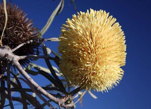 Banksia lindleyana photo