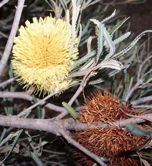 Banksia lindleyana photo