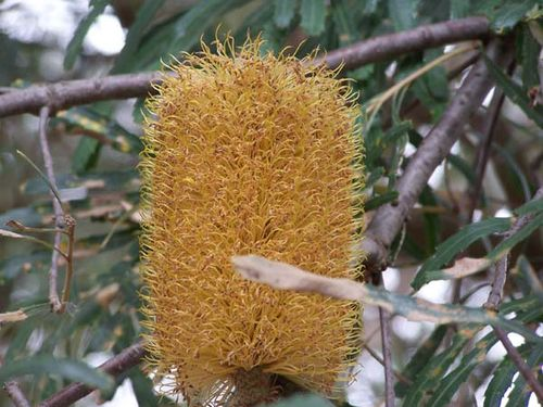 Banksia littoralis photo