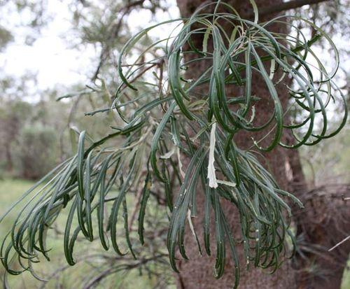 Banksia littoralis photo