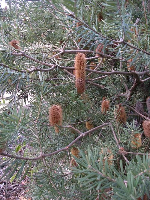 Banksia marginata photo