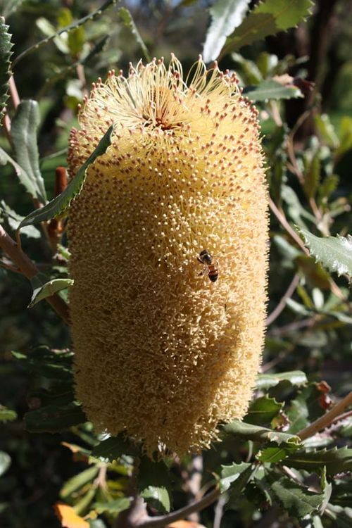 Banksia media photo