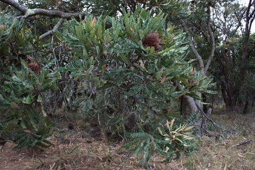 Banksia menziesii photo