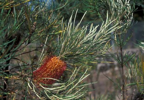Banksia occidentalis photo