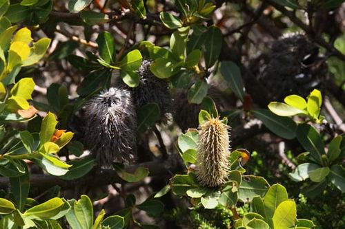 Banksia oreophila photo