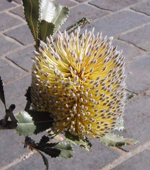 Banksia ornata photo