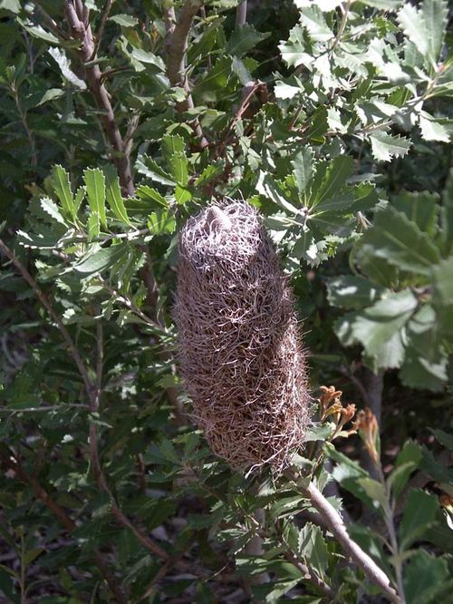 Banksia praemorsa photo