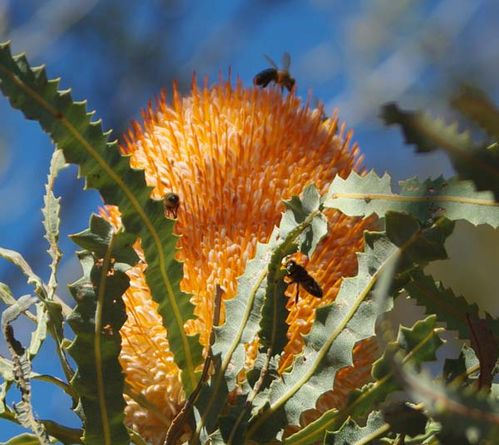 Banksia prionotes photo