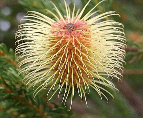 Banksia pulchella photo