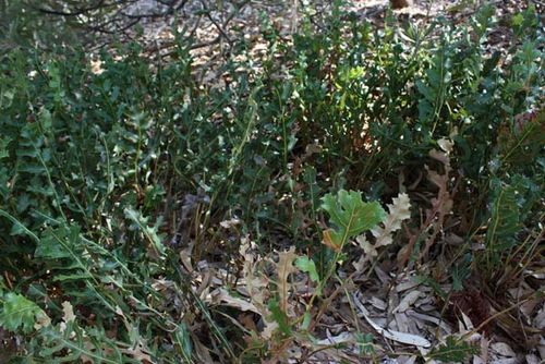 Banksia repens photo