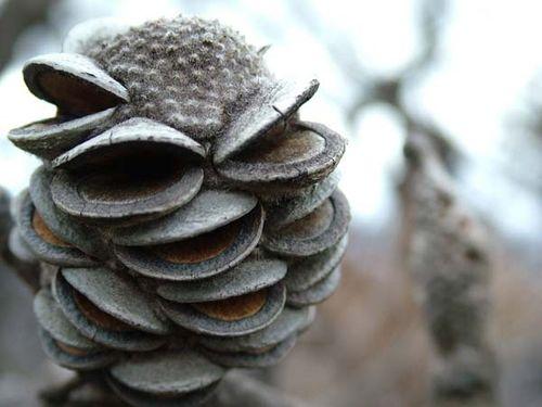 Banksia saxicola photo