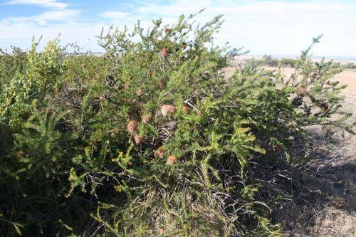 Banksia scabrella photo