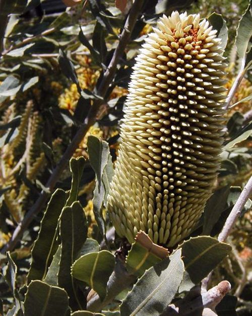 Banksia sceptrum photo