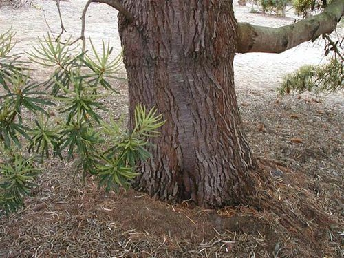 Banksia seminuda photo