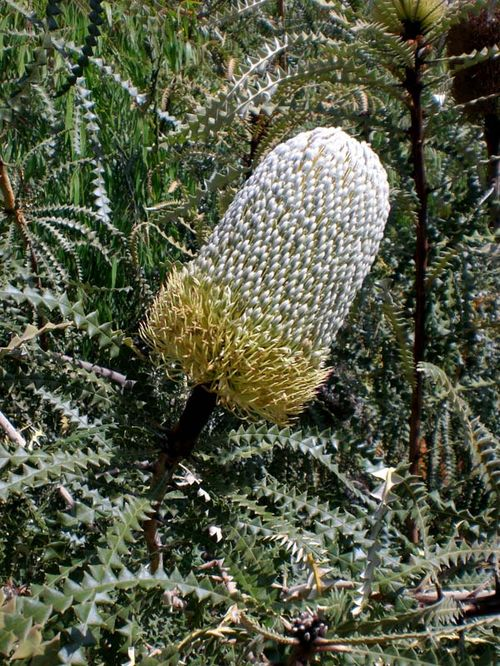 Banksia speciosa photo